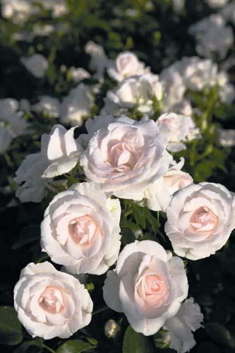 Aspirin® Rose - ©Rosen Tantau