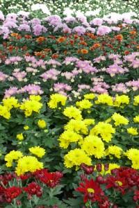Chrysanthemen leuchten im Markt