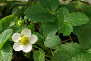 Erdbeerpflanzen - Jungpflanzen im Topf