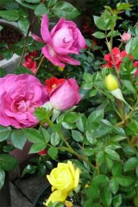 Gartenrosen blühen den ganzen Sommer bis in den Herbst hinein