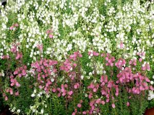 Glocken-Heide mit weißen und roten Blütenständen