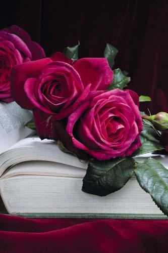 Joh. W. v. Goethe Rose® - ©Rosen Tantau