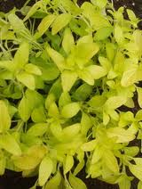 gold-oregano