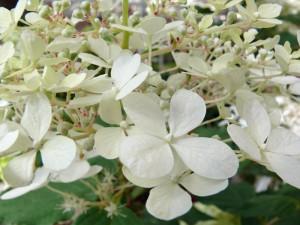 Die Rispenhortensie hat wunderschöne, zarte Blüten