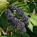 Brombeere Rubus Hybride Black Jewel - © HÄBERLI®