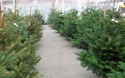 Weihnachtsbäume bei Pfitzner in Heidenau bei Dresden
