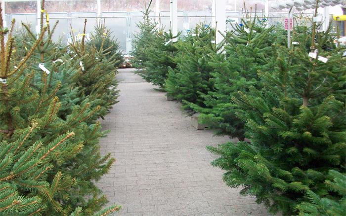 Weihnachtsbaumverkauf in heidenau bei dresden g rtnerei - Obi weihnachtsbaumverkauf ...