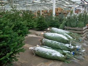 Weihnachtsbäume kaufen bei Pfitzner in Heidenau bei Dresden