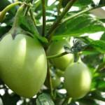 Birnenmelone Pepino, ideal als Topfkultur, Früchte essbar