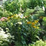 Echinacea und Schleierkraut