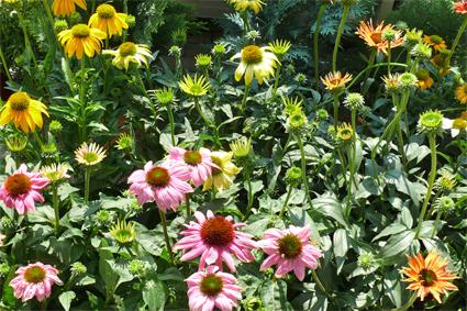 Echinacea, sonnig, Blüte von Sommer-Herbst