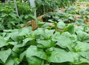 Gemüsejungpflanzen - Saisonware