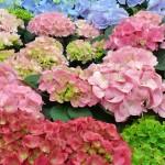 Hortensien in vielen Farben