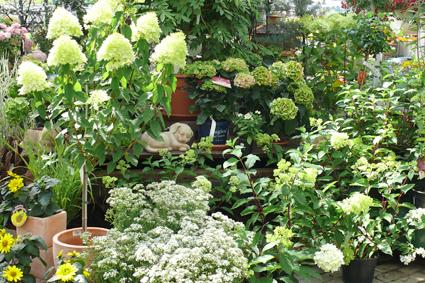 versch. Hortensien, Sonnenblumen, Schleierkraut