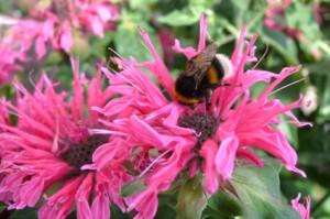Indianernessel - bis 1,50 m hoch, sonnig-halbschattig, Bienenweide