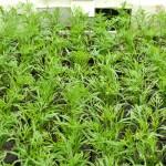 Jungpflanzen - Kräuter und Gemüse