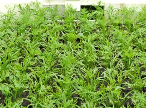 Saisonware Jungpflanzen, Kräuter, Gemüsepflanzen