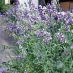 Lavendel, wunderschön im Bauerngarten