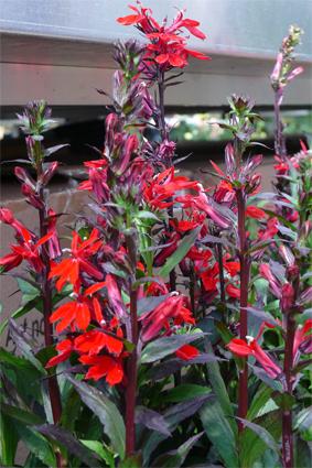 Lobelien - sonnig, Blüte Juli-September
