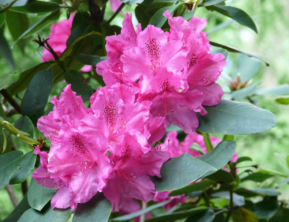Rhododendronblüte - Foto: die-infoseiten.de