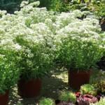Schleierkraut - attraktive Füllpflanze im Staudenbeet