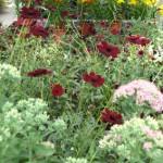 Schokoladenblume und Lilien