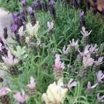 Schopflavendel - violett, rosa, weiß