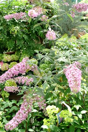Sommerflieder, auch Schmetterlingsstrauch genannt