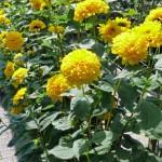 Staudensonnenblumen für den Bauerngarten